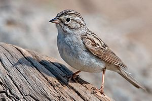 Brewer's sparrow - Adult S. b. breweri in Deschutes National Forest, Oregon