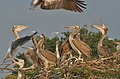 Spot-billed Pelican (Pelecanus philippensis)- Immatures at nest looking for food from Adult W IMG 5288.jpg