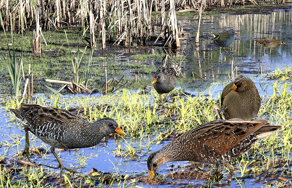 Spotted Crake from the Crossley ID Guide Britain and Ireland