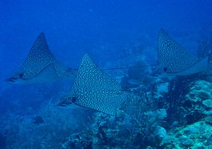 Spotted eagle ray - Spotted eagle rays are social and often occur in groups. Three individuals off Belize