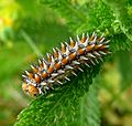 Spotted or Red-band Fritillary. Melitaea didyma - Flickr - gailhampshire.jpg