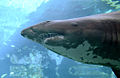 Spotted ragged-tooth shark - Carcharias taurus.jpg