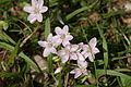 Spring beauty pale--claytonia virginica im.JPG
