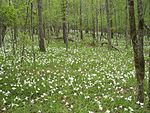 Spring wildflowers atamasco lilies create an easter time carpe.jpg