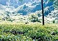 Srimangal Tea garden.jpg