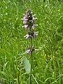 Stachys palustris kz16.jpg