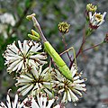 Stagmomantis carolina (Carolina Mantis) (6206540307).jpg