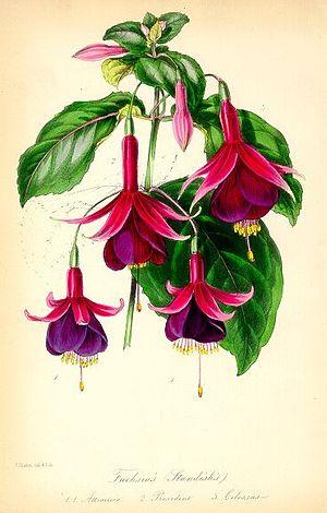 Standish's Seedling Fuchsia- Paxton.jpg