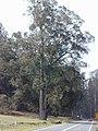 Starr-010423-0048-Eucalyptus sp-habit-Kula-Maui (23904221834).jpg