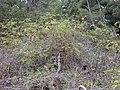 Starr-021126-0070-Rubus niveus-form b habit-Polipoli-Maui (24553566445).jpg