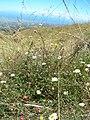 Starr-050817-3848-Erigeron karvinskianus-small trees-Keahuaiwi Gulch-Maui (24684434692).jpg