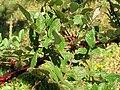 Starr-050817-3852-Rubus niveus-form b habit-Keahuaiwi Gulch-Maui (24708798791).jpg