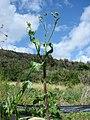 Starr-070215-4503-Sonchus oleraceus-habit-Old macadamia nut orchards Waiehu-Maui (24789024561).jpg