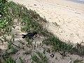 Starr-080102-1126-Sporobolus virginicus-habit with Leachs storm petrel release-Kanaha Beach-Maui (24531359969).jpg