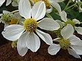 Starr-081230-0660-Montanoa hibiscifolia-flowers-Upper Kaulana-Kahoolawe (24833894601).jpg