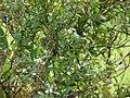 Starr-090408-5656-Solanum americanum-flowers leaves green fruit-Piiholo-Maui (24857855661).jpg
