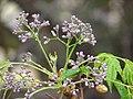 Starr-090518-7888-Melia azedarach-flowers-Omaopio-Maui (24955358495).jpg