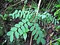 Starr-090623-1492-Adenanthera pavonina-seedling-Nahiku-Maui (24671171450).jpg