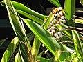 Starr-090714-2704-Alpinia zerumbet-flowering and variegated habit-Napili-Maui (24601979839).jpg