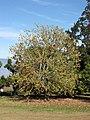 Starr-091023-8500-Acer buergerianum-habit with fall foliage-Kula-Maui (24868753942).jpg