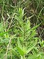 Starr-100503-5784-Dysphania ambrosioides-leaves-Kula-Maui (24919177662).jpg
