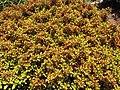 Starr-100623-7744-Coprosma sp-repens perhaps potted plants in nursery-Pukalani Plant Company Pulehu-Maui (24415399893).jpg