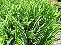 Starr-100623-7772-Nephrolepis sp-potted plants in shade house-Pukalani Plant Company Pulehu-Maui (24949015421).jpg