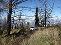 Starr-101201-9612-Sequoia sempervirens-habit with Explorer-Polipoli-Maui (24689703259).jpg