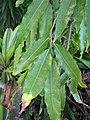 Starr-110215-1156-Polyalthia longifolia var pendula-leaves-KiHana Nursery Kihei-Maui (24445069394).jpg
