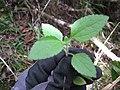Starr-110924-9510-Ageratum conyzoides-leaves-Makamakaole-Maui (24819329880).jpg