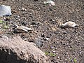 Starr-110926-8534-Plantago lanceolata-habitat with chukars-HVC HNP-Maui (25115312645).jpg