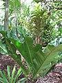Starr-120522-6020-Anthurium hookeri-habit-Iao Tropical Gardens of Maui-Maui (24515155603).jpg