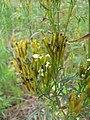 Starr-120608-7385-Tagetes minuta-flowers-Ulupalakua Ranch-Maui (24777726319).jpg