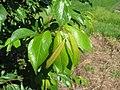 Starr-130809-2926-Prunus domestica-Cv Beauty leaves-Kula-Maui (25141445042).jpg