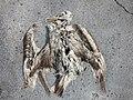 Starr-150331-0871-Coronopus didymus-dead Laysan Albatross with plastic-Harbor Sand Island-Midway Atoll (24640972414).jpg