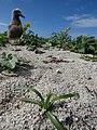 Starr-150401-0105-Cyperus rotundus-habit and Laysan Albatross chick-Frigate Pt Sand Island-Midway Atoll (25153954622).jpg
