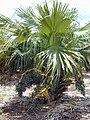 Starr 010420-0111 Livistona chinensis.jpg