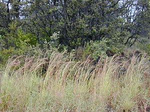 Hyparrhenia rufa - As a weed in Hawaii