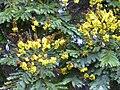 Starr 030514-0021 Peltophorum pterocarpum.jpg