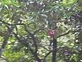 Starr 030807-0173 Syzygium malaccense.jpg