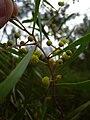 Starr 031114-0004 Acacia retinodes.jpg