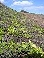 Starr 031127-0062 Jacquemontia ovalifolia subsp. sandwicensis.jpg