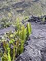 Starr 041006-0323 Polypodium pellucidum.jpg