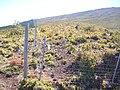 Starr 041211-0009 Sophora chrysophylla.jpg