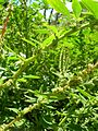 Starr 050222-4155 Amaranthus spinosus.jpg