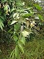 Starr 060916-8837 Syzygium jambos.jpg