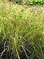 Starr 061108-9642 Cyperus javanicus.jpg