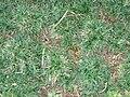 Starr 070124-3863 Ophiopogon japonicus.jpg