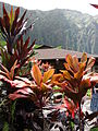 Starr 070515-7057 Cordyline fruticosa.jpg