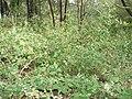 Starr 080609-8065 Abutilon grandifolium.jpg
